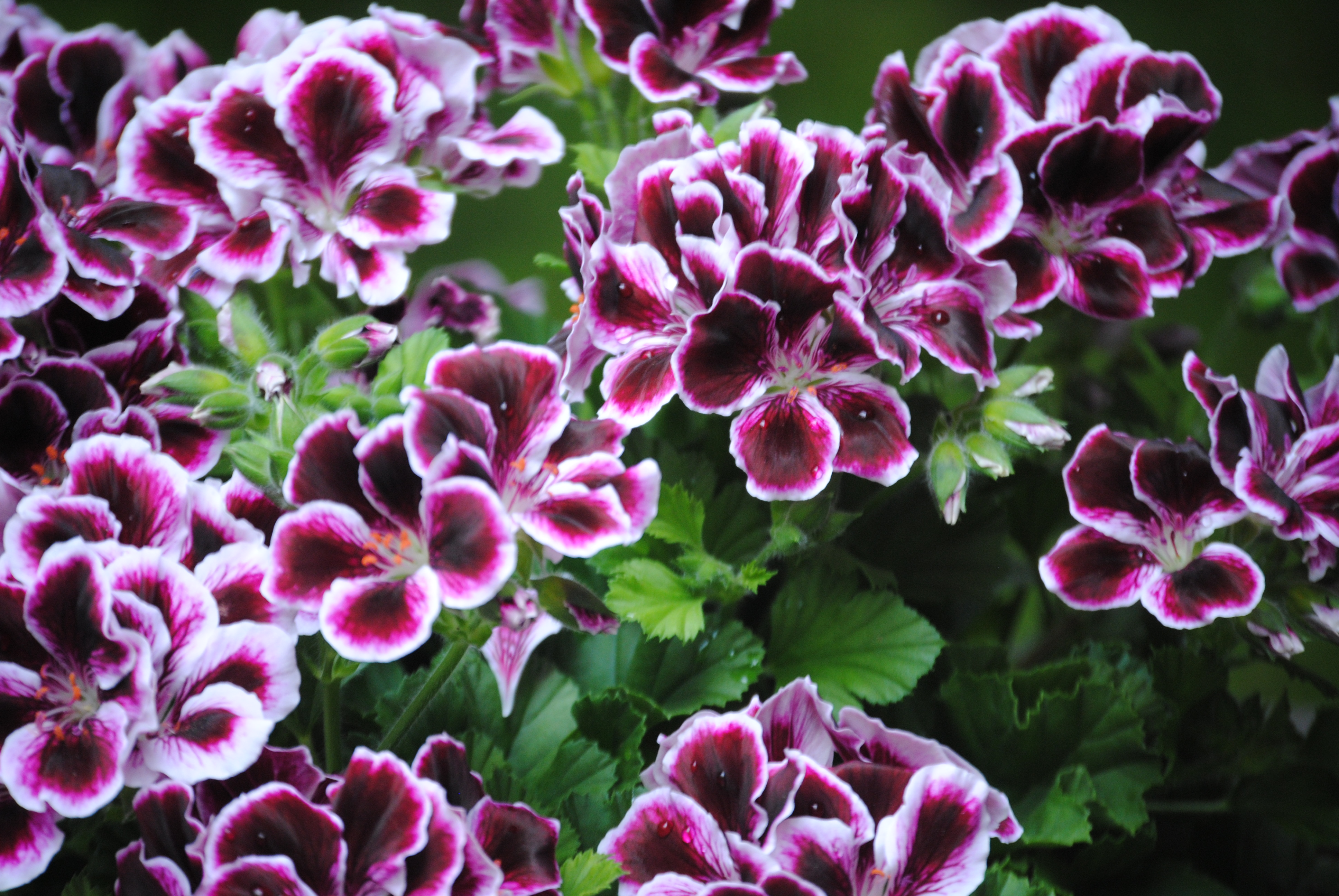 All parts of the geranium are toxic to dogs and cats and can cause vomiting, anorexia, and depression.