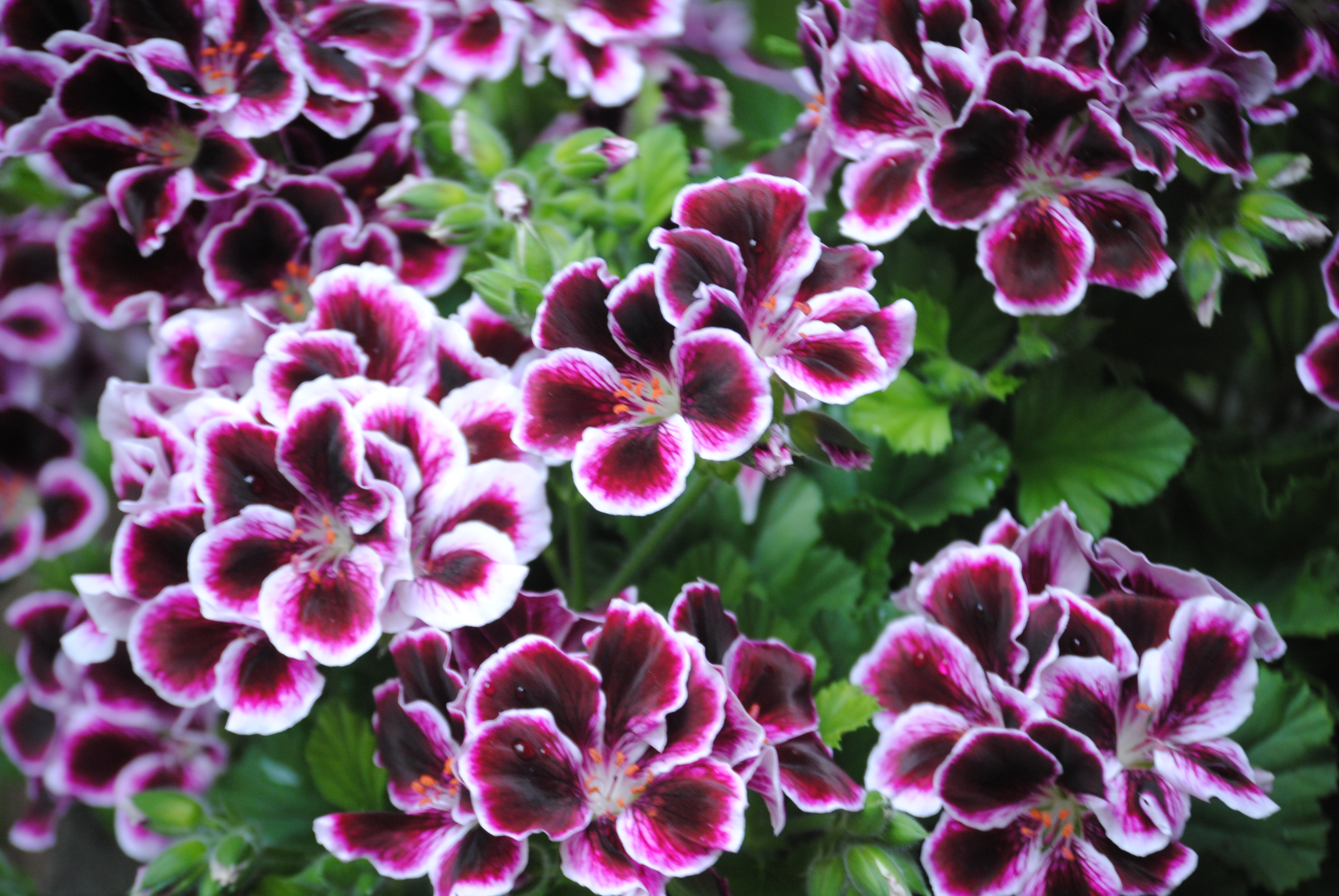 Geraniums Are Toxic to Dogs I Didn t Know That mybrownnewfies