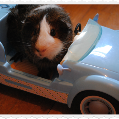 Gibby The Guinea Pig Gets Behind The Wheel