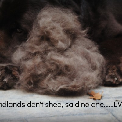 Wordless Wednesday. Newfoundlands Don't Shed.