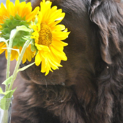 I've Got A Pocketful Of Sunflowers And 2 Brown Newfies