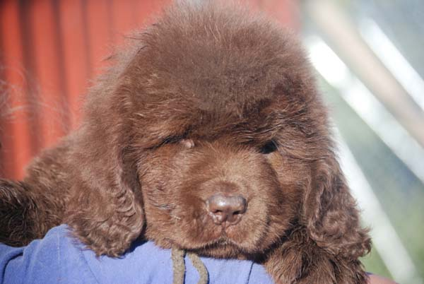 Leroy. Brown Newfie puppy