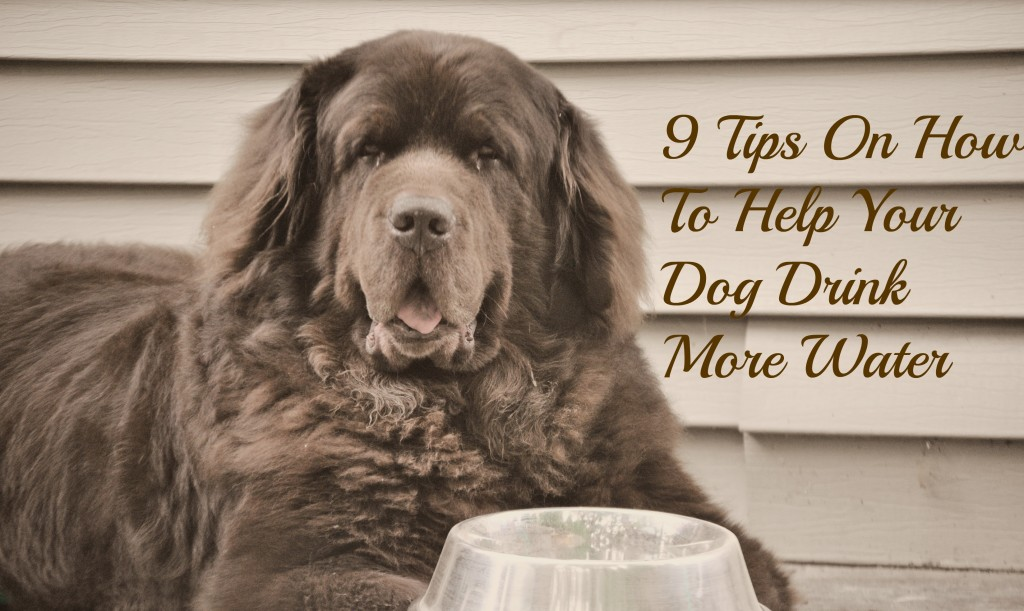 9 tips on how to get your dog to drink more water