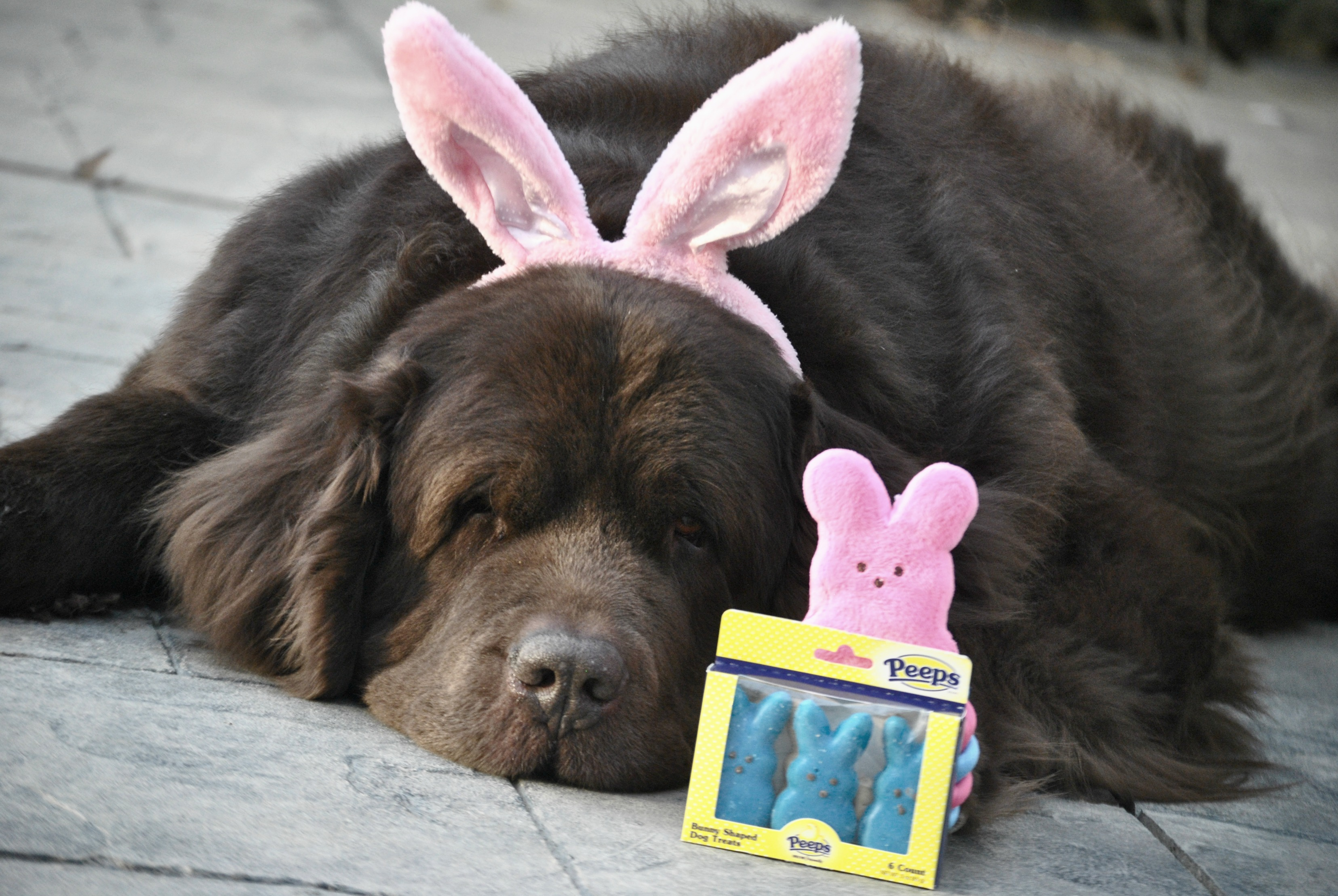 The Making Of A Chocolate Easter Bunny....... - mybrownnewfies.com