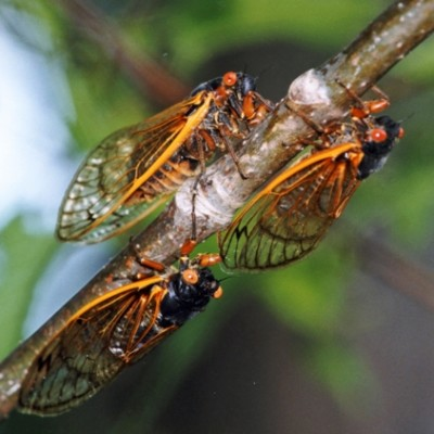 Are Cicadas Toxic To Dogs?