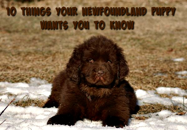 10 THINGS YOUR NEWFOUNDLAND PUPPY WANTS YOU TO KNOW