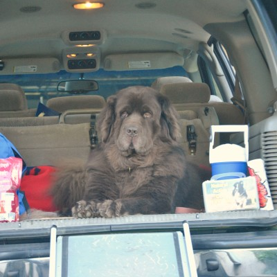 Traveling With Newfies. 8 Reasons Why It Can Be Challenging #AutoTraderDogDay
