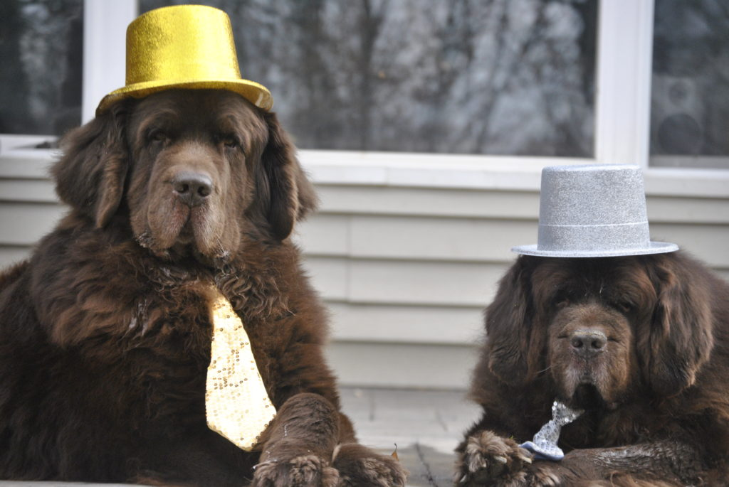 The Brown Newfies Make Resolutions For 2017