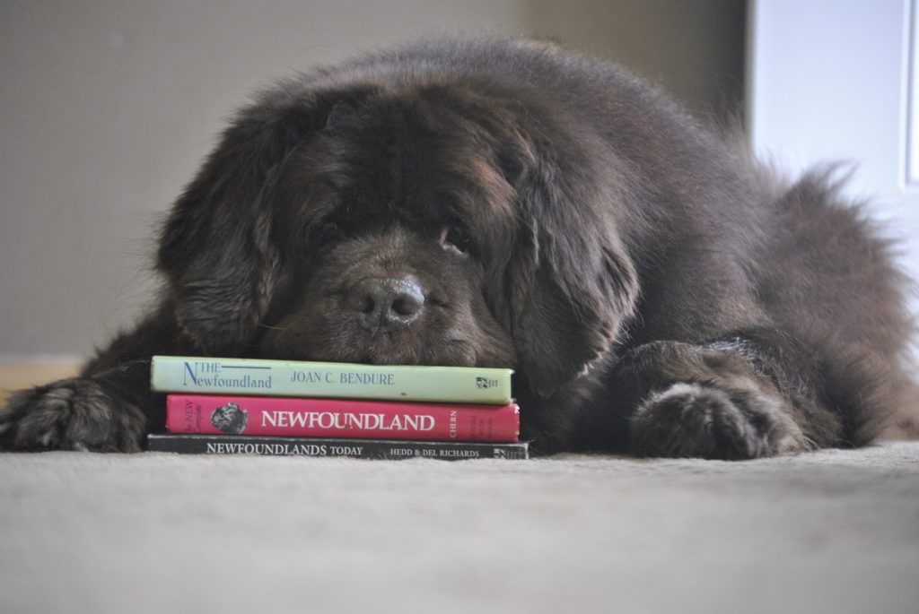 10 Things That Are Very, Very Hard To Do If You Have A Newfoundland