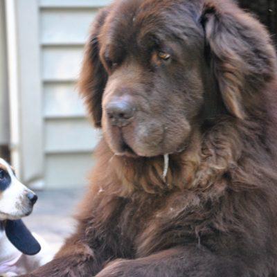 What Happens When A Bassett Hound Puppy Meets A Newfoundland?