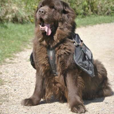4 Reasons To Consider A  Backpack For Your Big Dog