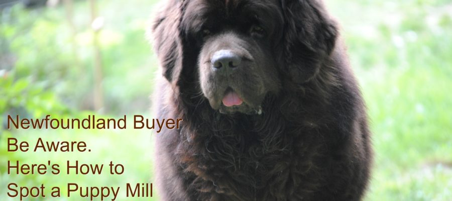 Newfoundland Buyer Be Aware: Here's How To Spot A Puppy Mill