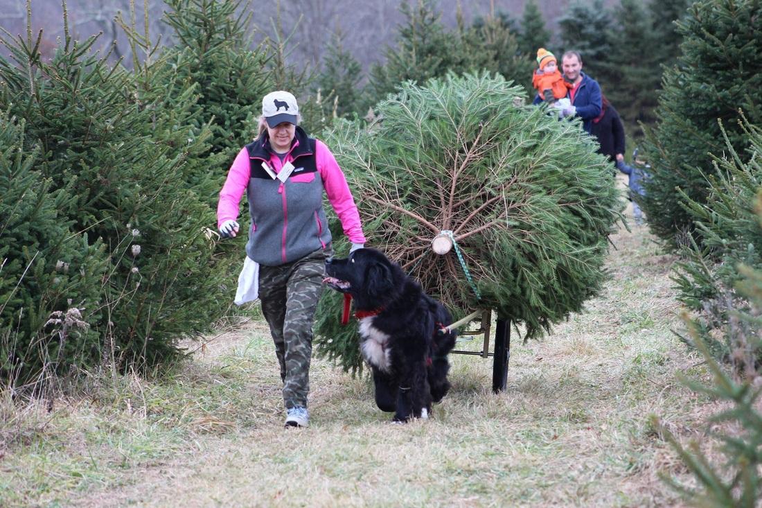 2017 Newfoundland Christmas Tree Pull List
