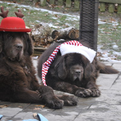 """Twas The Night Before Christmas And My Newfies Were Trashing The House"