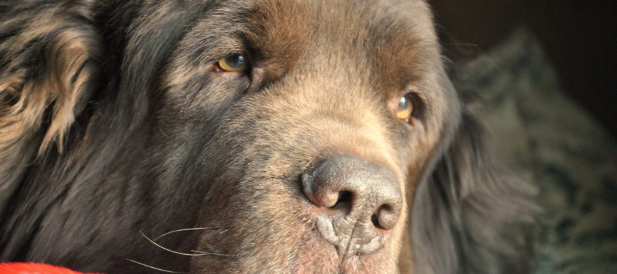 Caring For a Chronically Ill Dog. Leroy Update