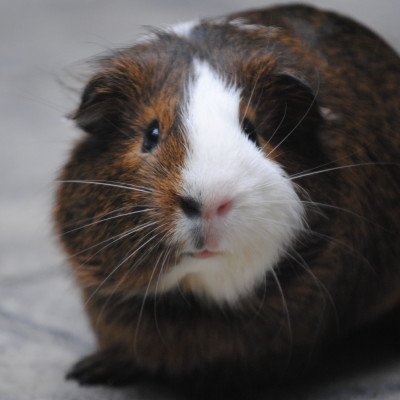 I Lost Gibby The Guinea Pig