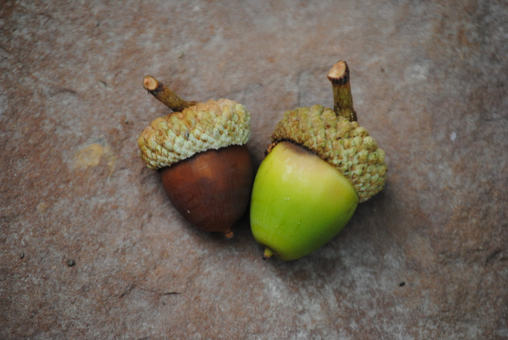 Can Dogs Eat Green Acorns