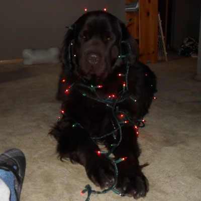 8 Holiday Dog Dangers In My Home