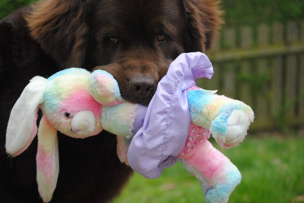 10 Common Behavior Issues Seen With The Newfoundland Dog