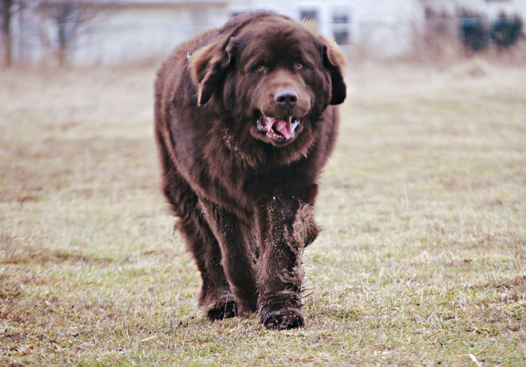 10 Common Behavior Issues Seen In The Newfoundland Dog