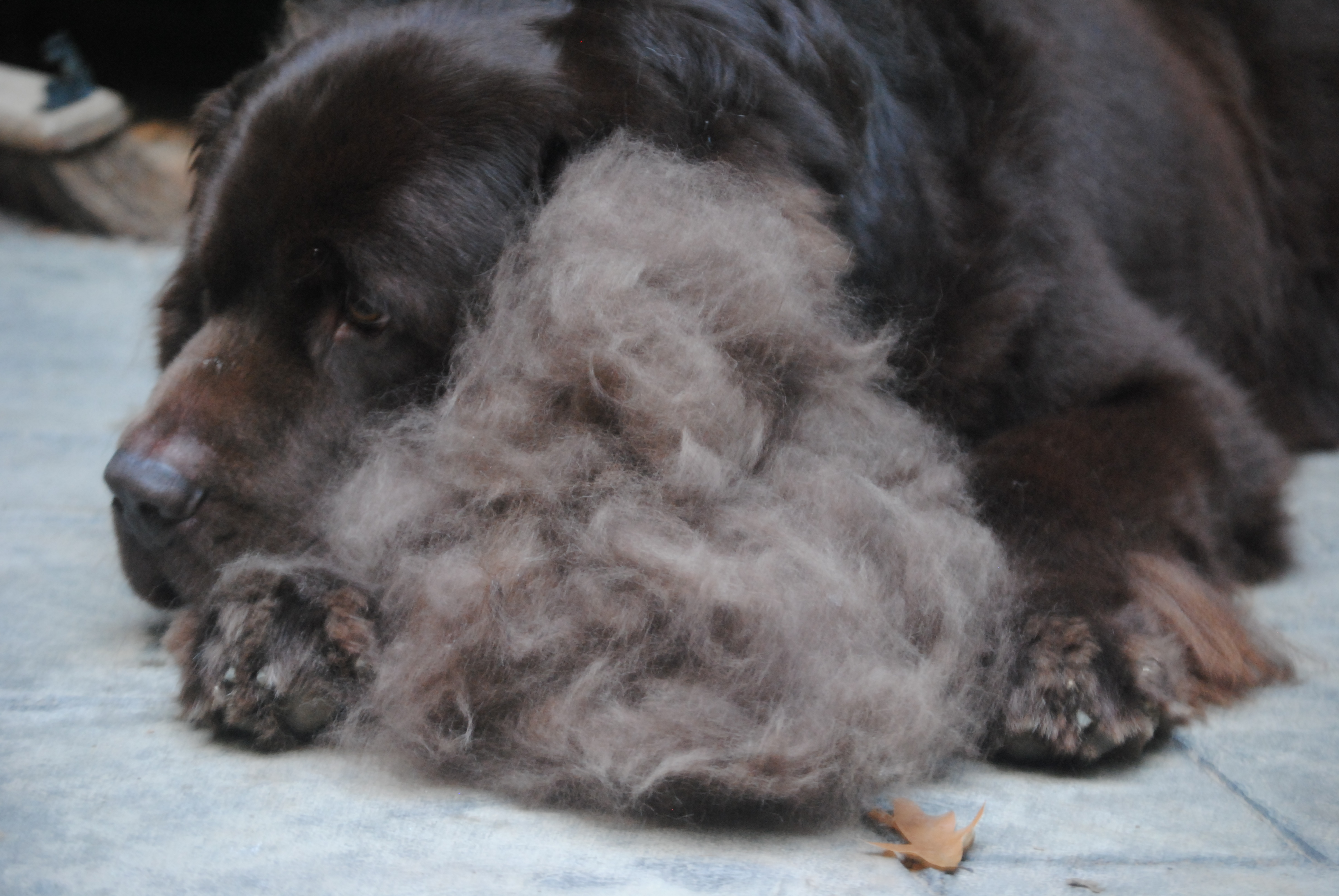 training full diet temperament asp info shedding grown pictures puppies sheds bernedoodle dog