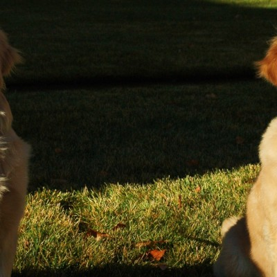 Help Save Dogs From Cancer. Golden Retriever Lifetime Study.