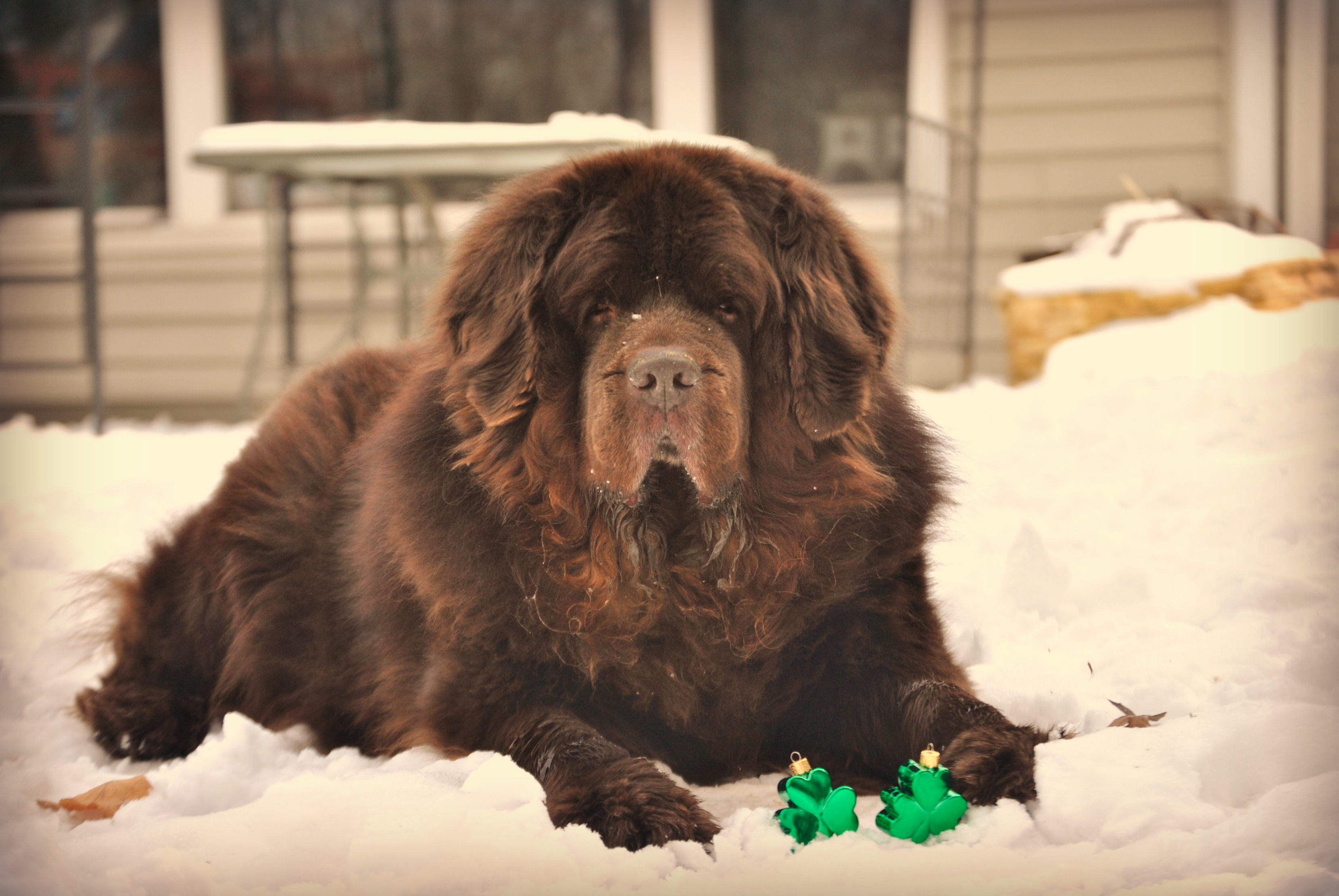 Does Your Dog Ever Snub You Mybrownnewfies Com