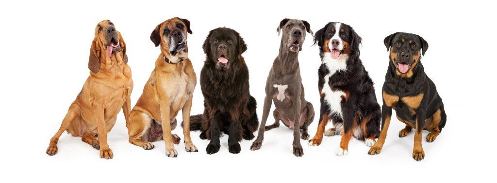 dog breeds at risk of GDV or dog bloat are the Great Dane, Newfoundland, Irish Wolfhound, Bernese Mountain Dog, Mastiff and Boxer