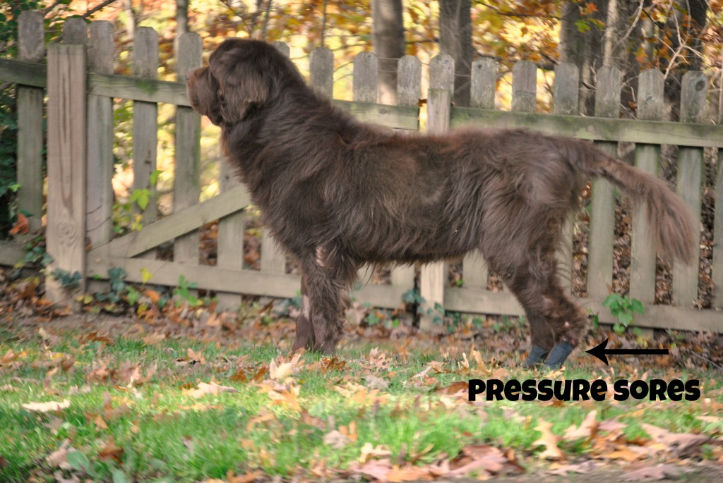 Dogs And Pressure Sores