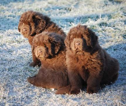10 Tips When Searching For A Newfoundland Dog Breeder