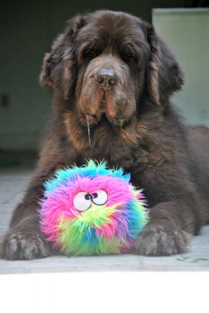 Our favorite dog toy by far is the GoDog FurBallz