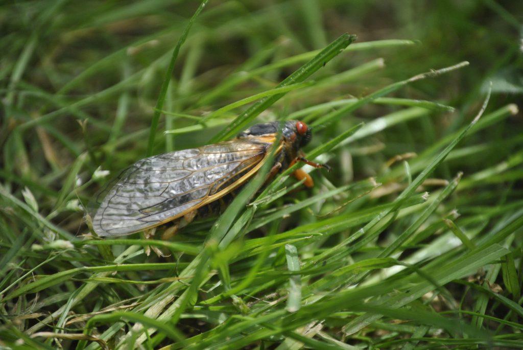 cicada in grass in Ohio 2016