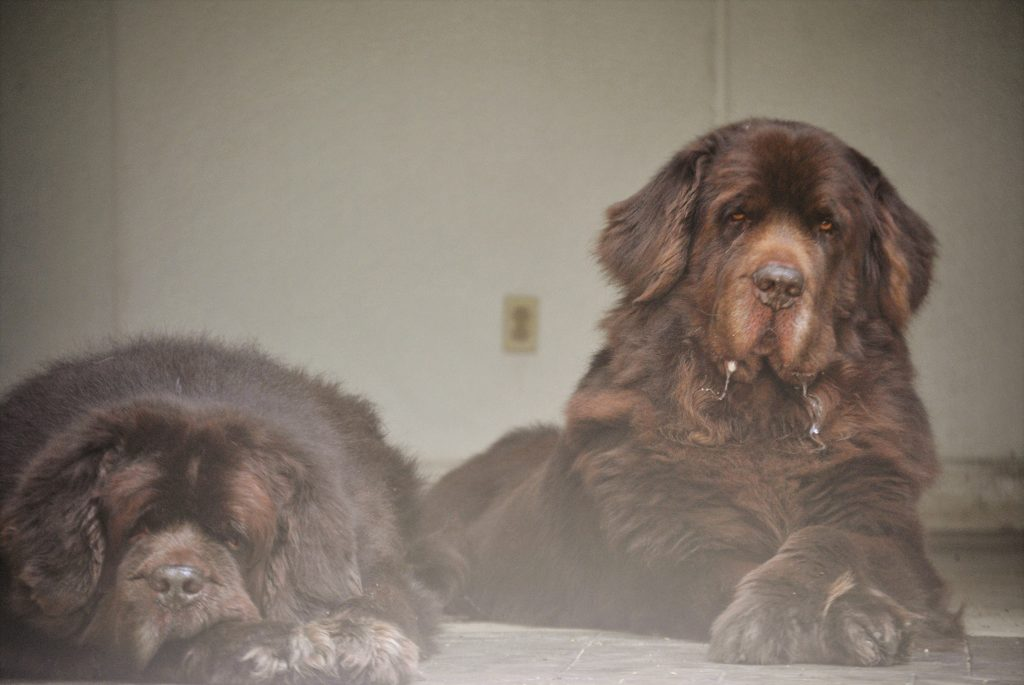 Understanding A Dogs Double Coat Mybrownnewfies