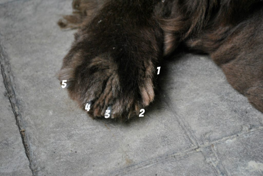 Dog's are digitigrade animals. These means that unlike humans, dog's digits will take on most of their weight when they walk, not their heels. This is why it's so important to practice good paw care! Most dogs have 5 digits, digit 1 is the dewclaw, digit 2 is the index toe and so on.