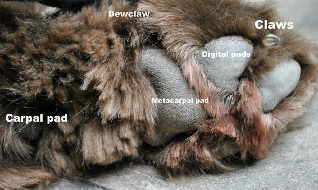 A dog's paw consists of 5 marvelous parts. The claws, digital pads, metacarpal pad, carpal pad and the dewclaw.