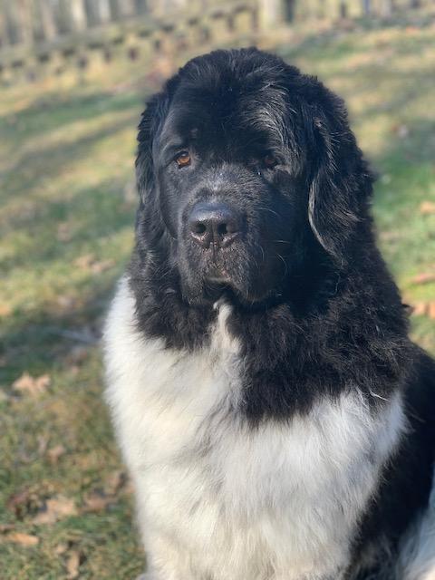 newfoundland dog after bath and grooming