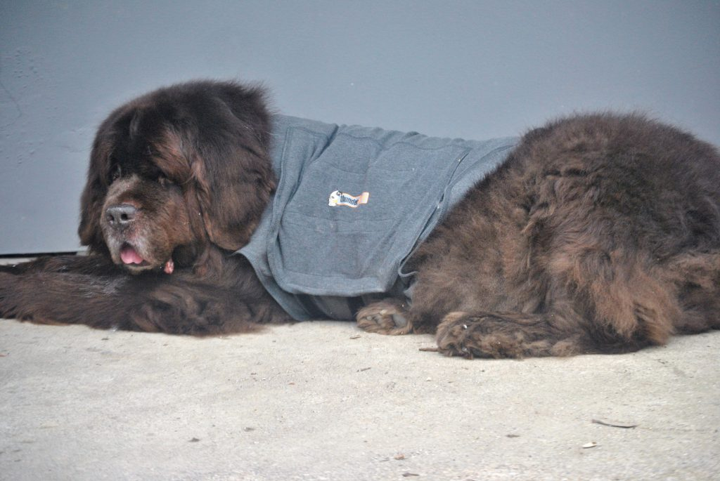 ThunderShirt Review For Big Dogs
