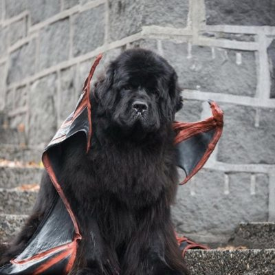 12 Newfies That Are Going To Get All Your Treats On Halloween