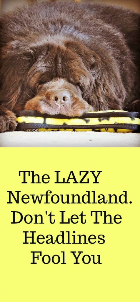 The Lazy Newfoundland. Don't Let The Headlines Fool You.