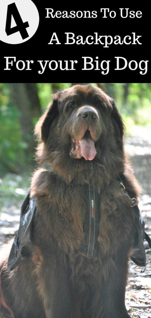 big dog wearing backpack