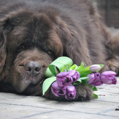 8 Things Most Newfie Owners Can Relate To In The Spring