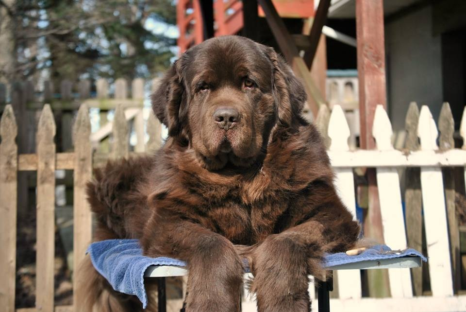 12 Questions Every Newfoundland Owner Should Ask Their Dog Groomer.