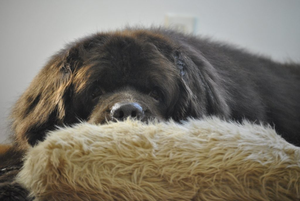 How Much Does A Newfoundland Dog Cost?