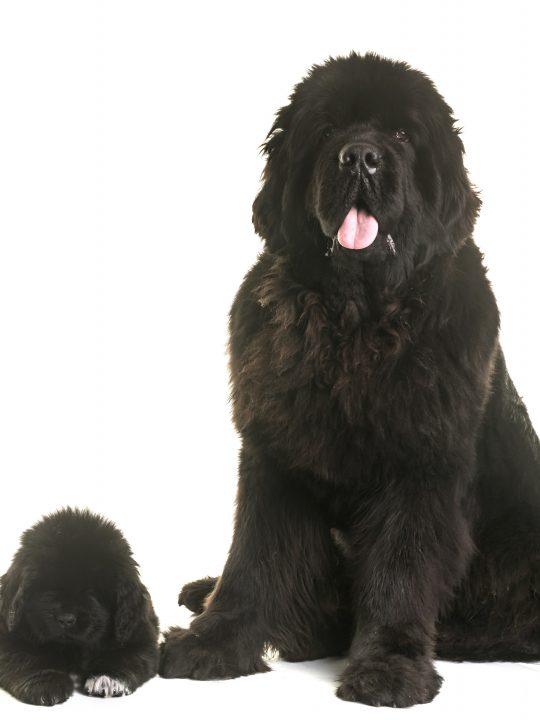 puppy and adult black newfoundland dog