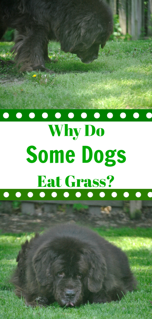 Contary to popular belief, when dogs eat grass it doesn't always mean that they are feeling sick. Many dogs will eat grass because they like the taste of it.