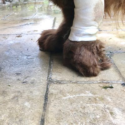 What Is Paw Knuckling In Dogs? (Video)