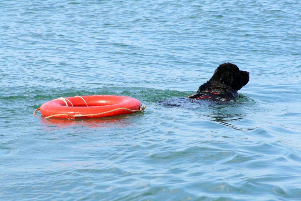 newfoundland dog swimming