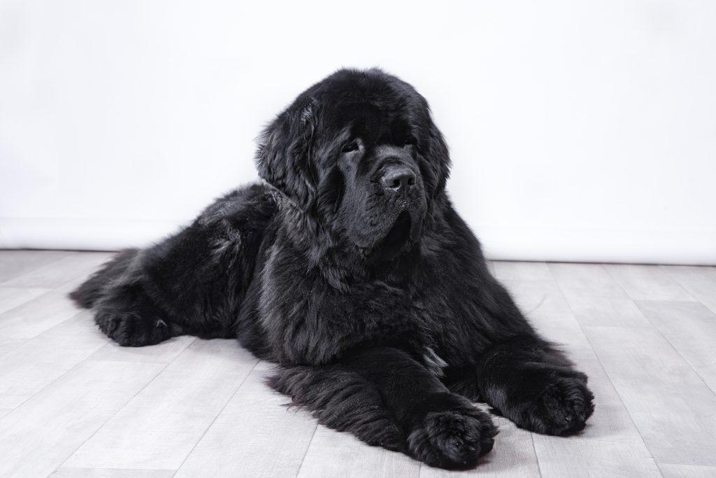 black newfoundland dog laying on floor