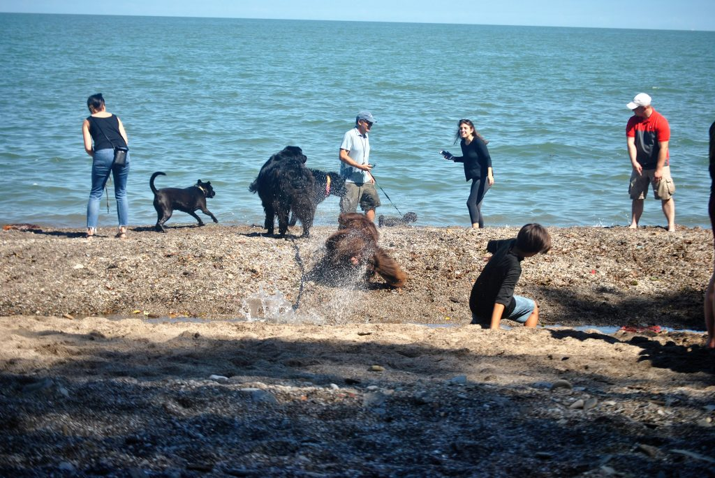 Newfoundland dog racing to the water