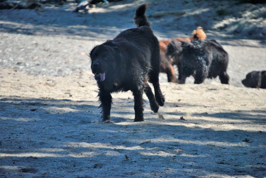 newfoundland dog running on the beach
